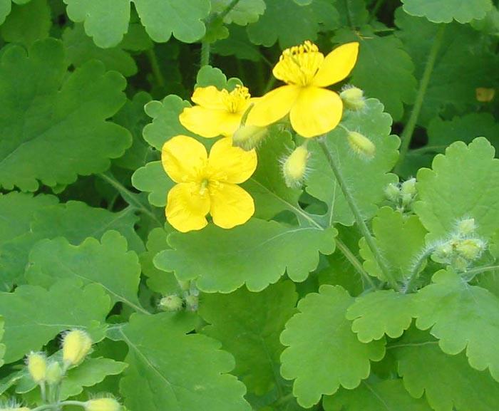 растения при варикозе